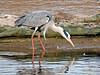 Garza real (Ardea cinerea) (11) (eb3alfmiguel) Tags: aves zancudas ciconiiformes ardeidae garza real ardea cinerea