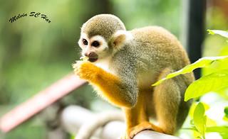 The Squirrel Monkey