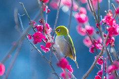 Songbird (moaan) Tags: kobe hyogo japan jp bird mejiro japanesewhiteeye ume tree umeblossom japaneseapricot branch perch springtime blossom blossoming inblossom dof depthoffield bokeh bokehphotography canoneos7dmarkii ef70200mmf28lisiiusm