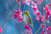 Songbird (moaan) Tags: kobe hyogo japan jp bird mejiro japanesewhiteeye ume tree umeblossom japaneseapricot branch perch springtime blossom blossoming inblossom dof depthoffield bokeh bokehphotography canoneos7dmarkii ef70200mmf28lisiiusm