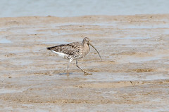 Mucky Curlew