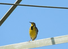 Western Meadowlark on an electrical tower. (Ruby 2417) Tags: meadowlark bird wildlife nature yellow electric tower metal