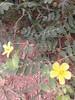 நெருஞ்சில் 6(Tribulus terrestris ) (Dr.S.Soundarapandian) Tags: tamilnadu medicinal herbal india thorn libido fertility yellow flower weed
