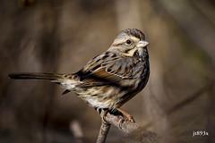 Song Sparrow (jt893x) Tags: 150600mm bird d810 jt893x melospizamelodia nikon sigma sigma150600mmf563dgoshsms songsparrow songbird sparrow alittlebeauty coth thesunshinegroup coth5 sunrays5