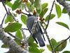 Coracina lineata lineata 3 (barryaceae) Tags: grassy head stewarts point kempsey nsw australia coracinalineatalineata australian barred cuckooshrike ausbird ausbirds