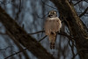 Northern Hawk Owl (Watchdog Images) Tags: nikon d500 nature canada wildlife nikkor naturephotography nikond500 dx ottawaphotographer animal outdoors
