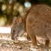 parmawallaby cuteness (1 of 2)