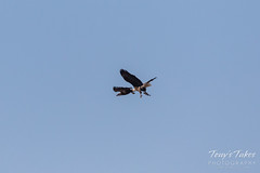 Bald Eagle theft attempt 2 - 7 of 7