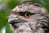 Tawny Frogmouth - Podargus strigoides. 32-46 cm (Steve Hitchcock) Tags: tawnyfrogmouth podargusstrigoides australianbirds stevehitchcock queenslandbirds