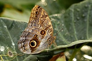 Caligo memnon / Giant Owl / Papillon chouette