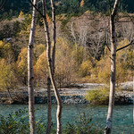 Birches at Kamikochi | 上高地 | PA270818 thumbnail
