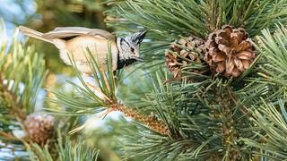 Haubenmeise (Parus cristatus) European Crested Tit