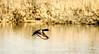 D7K_7163 (Mike Millspaugh) Tags: ring neck duck bird nature salamonie idnr water pond