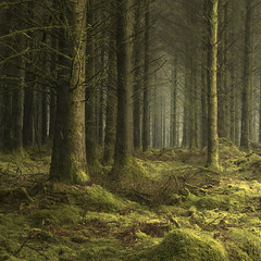 III (www.neilburnell.com) Tags: moss woodland trees pine dartmoor moors mist neil burnell wwwneilburnellcom