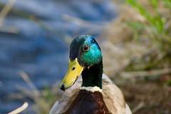 """Will you take my photo too?"" (briannalhendricks) Tags: canonrebelt6 canonrebel canon mallard sun lake ducks"