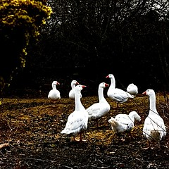 Oies blanches... (melina1965) Tags: nikon coolpix s3700 mars march 2018 bourgogne burgondy saôneetloire saintvallier oie oies goose geese oiseau oiseaux bird birds