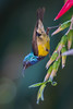 Beautiful Sunbird (Cinnyris pulchella) (Gordon Magee) Tags: africa nairobi bird kenya beautifulsunbirdcinnyrispulchella cinnyrispulchella