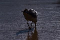 Transverse (JaggedMagpie) Tags: seagull bird photography beach water birb feathers splash sand reflection standing beak gull birdlife wildlife nature