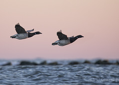 Brants at Dusk (T L Sepkovic) Tags: brant goose dusk birdsinflight