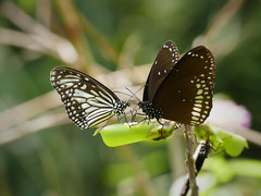 Common Mime Butterflies P1250958 (Phil @ Delfryn Design) Tags: india2018 butterflies