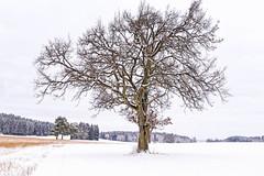 Winterzeit (blichb) Tags: 2015 ammersee andechs baum bayern canon6d fünfseenland tree bavaria blichb schnee snow winter deutschland de