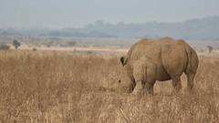 Brown (Nagarjun) Tags: safaritrektourscoke safari nairobinationalpark kenya africa wildlife mosesnjomo brown dawn morning sunrise sunshine