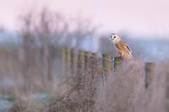 'The Late Shift' (benstaceyphotography) Tags: thebluehour tytoalba barnowl owl bird birdofprey uk nature nikon wildlife sunset dusk winter