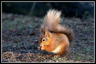 IMG_0066 Red Squirrel