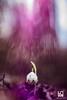 MAGIC MOMENT (Lace1952) Tags: primavera campanellino falsobucaneve fiore bosco sottobosco luce controluce sfocato bokeh diffrazione sole panasonic lumixg pancolarjena pancolar50mmf1e8