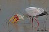 YELLOW-BILLED  STORK // MYCTERIA  IBIS (100cm) (tom webzell) Tags: naturethroughthelens