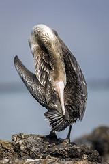 070A3339 (Cog2012) Tags: cormorant