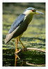 Héron Bihoreau | Black-crowned Night Heron | Nycticorax nycticorax (BerColly) Tags: france auvergne puydedome oiseau bird heronbihoreau blackcrownednightheron nycticoraxnycticorax vol flight ciel sky ete summer allier riviere river portrait bercolly google flickr