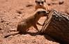 Young Meerkat Eating (Sarah Constancia Photography) Tags: log eating young youth tunneler rodent mammal african africa meerkat florida viera melbourne brevard brevardzoo