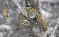 Photobombed (Alec_Hickman) Tags: nuthatch bird flight squirrel animal wildlife nature canada winter snow frozen freeze