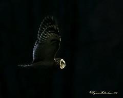 2I1A0098a (lfalterbauer) Tags: outdoor shortearedowl nature wildlife photography canon 7dmarkii dslr avian raptor birdsofprey ornithology polefarm mercercounty birdwatcher