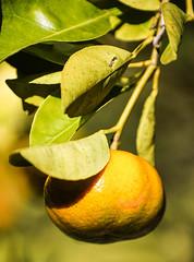Ripe Fruit (wyojones) Tags: hawaii volcano satsuma tangerine orange tree plant fruit citrus redanthurium waimeaanthurium cultivars anthuriumandraeanum flowers leaves plants