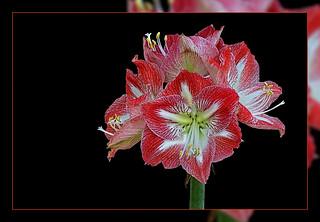 Amaryllis Blossoms