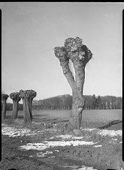 icauniversal230318-3 (salparadise666) Tags: ica universal palmos 275 9x12 pololyt 135mm fomapan 10064 caffenol cl 45min nils volkmer vintage large format analogue film plate view camera vertical landscape nature tree rural dof hannover region niedersachsen germany north german plains lowlands