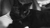 Echo Gets Pensive (JBernadez) Tags: echo blackcat canon cats pets animals blackandwhite 5dmkii 1635mm 169 ikeapillow companion friend fatcat alwayshungry demanding sweet cuddle buddy