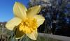 Daffodil, in sunlight, neighbor's yard (Martin LaBar (going on hiatus)) Tags: southcarolina pickenscounty daffodil narcissus yellow flower corolla spring frühling amaryllidaceae tepals
