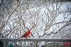 Red Cardinal (MalNino) Tags: redcardinal winter snow backyarddenizen snowstorm elusive