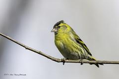 Tarin des Aulnes (denis.loyaux) Tags: denis loyaux domaine des oiseaux nikon d5 ariège carduelisspinus eurasiansiskin fringillidés passériformes tarindesaulnes france