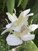 Ninfa : Il fiore bianco completamente aperto . (sandromars) Tags: italia lazio latina ninfa parco fiorebianco