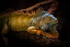 At the Zoo (Nikonphotography D750) Tags: sonyphotography sonyalpha e1670mmf4zaoss ilce6500 sonyalpha6500 bremerhaven zooammeer zoo atthezoo wildlife echse leguan iguana commoniguana lizard