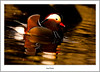 Male Mandarin Duck, River Leven, Balloch (flatfoot471) Tags: 2017 balloch bird duck mandarin march nature normal riverleven rural scotland spring unitedkingdom westdunbartonshire gbr