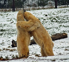 Bear hugs (explore) (dan487175) Tags: polarbear bear playing fight whitefur paws giants hug claws snow white cold frozen log