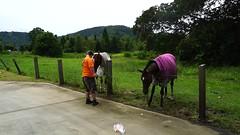 Benjamin feeding carrots to horses-1 (Sheba_Also 16.5 Million Views) Tags: benjamin feeding carrots horses