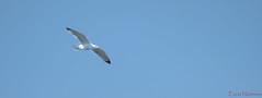 Goéland (Ezzo33) Tags: france gironde nouvelleaquitaine bordeaux ezzo33 nammour ezzat sony rx10m3 oiseau oiseaux bird birds goéland