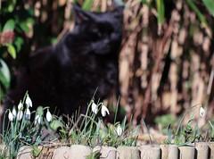 Guarding Snowdrops (haberlea) Tags: garden mygarden snowdrops cat flowerbed flowers