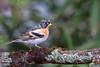 Pinson du Nord (gilbert.calatayud) Tags: brambling fringillamontifringilla fringillidés passériformes pinsondunord bird oiseau graulhet tarn occitanie